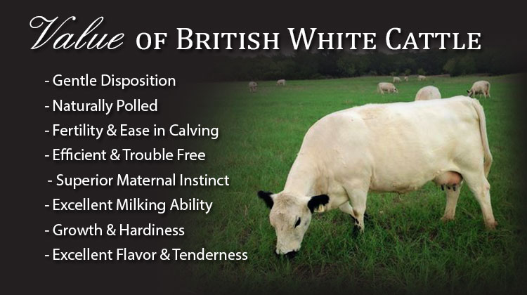 VALUE OF BRITISH WHITE CATTLE