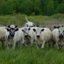 Purebred British White Bred Heifers