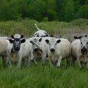 Purebred British White Bred Heifers