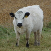 Minnesota Open Heifers