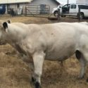 American Full Blood Bulls for sale